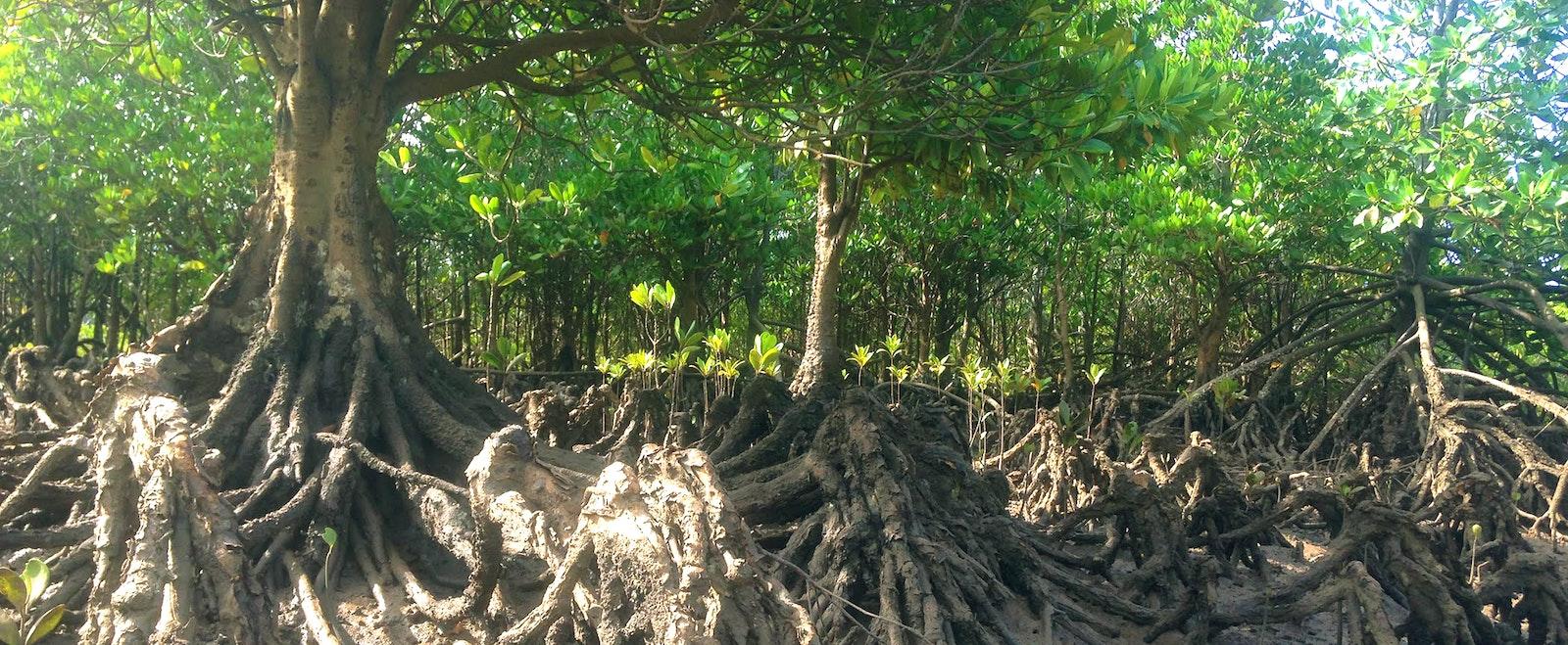 Mangrove saplings growing.