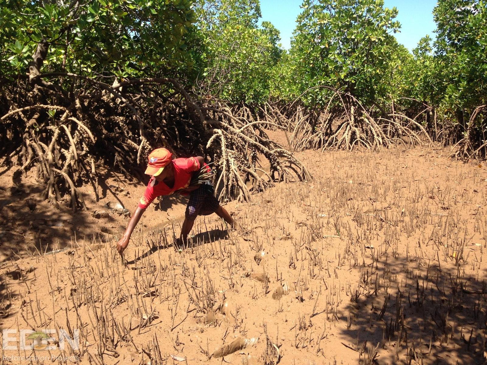 Local mangrove planter.