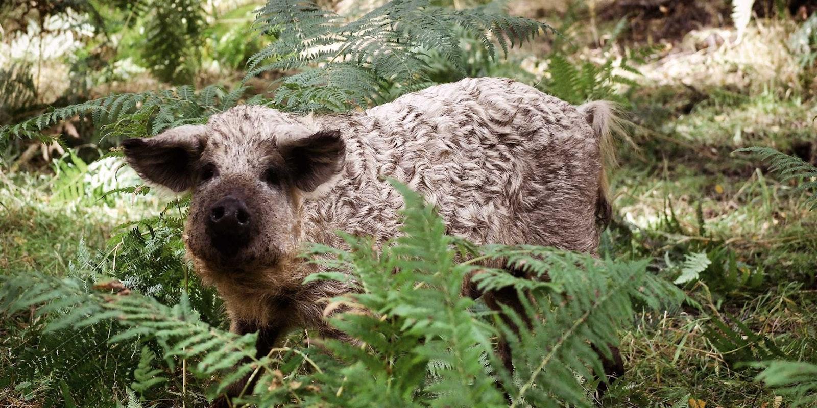 a wild pig in woodland