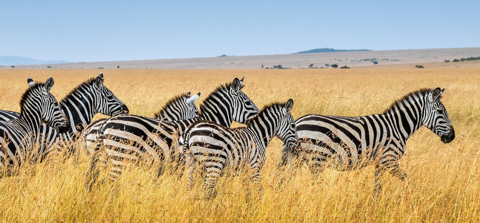 Zebra on a tall grass open flat lands